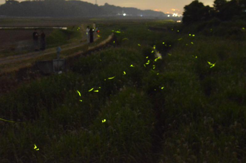 糸島市瑞梅寺川のホタル