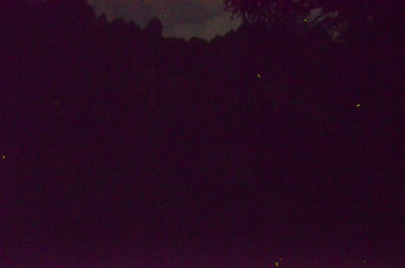 中ノ島公園数匹のホタル