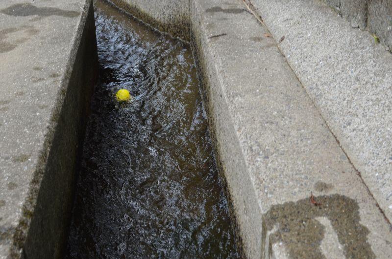 加茂川でアヒル流し