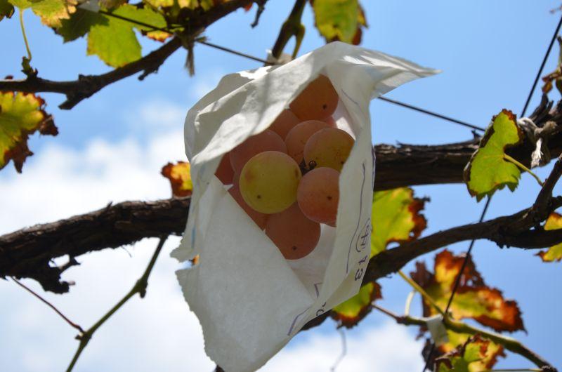 中野果実園の安芸クイーン