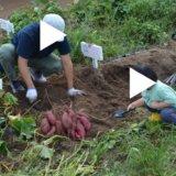 どんぐり村の芋掘りを体験。1キロ300円で甘いさつまいもを収穫【佐賀三瀬ルベール牧場】