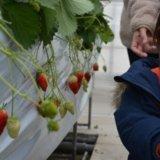 福岡の池いちご園は予約なしでいちご狩りできる!テレビ紹介された甘いいちごを実食